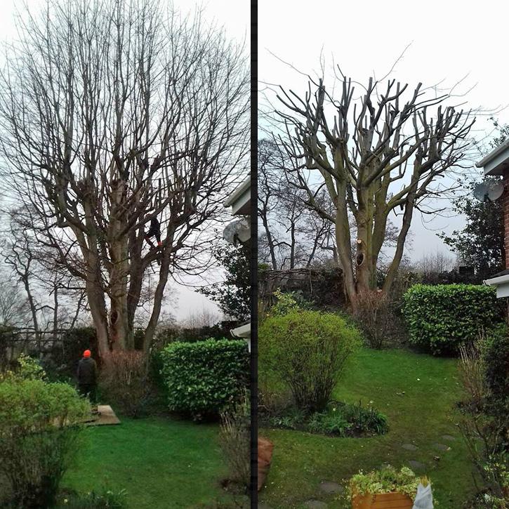 Pollard/deadwood removal